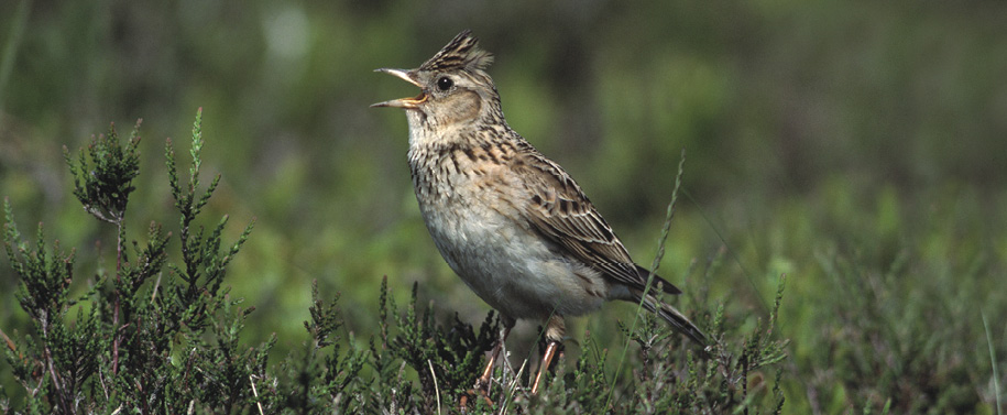 Skylarks benefit from wildflower meadow habitats